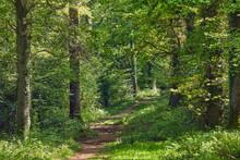 A Bridleway Cuts Through Ancient Oak Woodland In Mid-summer, In Ashclyst Forest, Near Exeter, Devon, England, United Kingdom