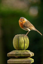 Robin Perched On A Weathered Garden Fence Post In North Yorkshire, England, United Kingdom