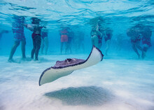Southern Stingray (Hypanus Americanus), Stingray City, Grand Cayman, Cayman Islands, Caribbean