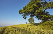 English Farmland, A Field Of G...
