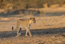 Leopard (Panthera Pardus) Female, Kgalagadi Transfrontier Park