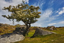 A Classic Dartmoor Scene, A Hawthorn Tree In Flower In Early Summer On Bonehill Rocks, Dartmoor National Park, Devon, England, United Kingdom