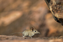 Eastern Rock Elephant Shrew (Elephantulus Myurus), Tuli Game Reserve, Botswana