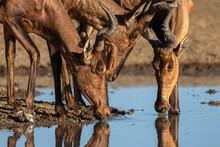 Red Hartebeest (Alcelaphus Buselaphus Caama), Kgalagadi Transfrontier Park