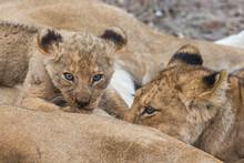 Lion (Panthera Leo) Cubs Suckling, Elephant Plains, Sabi Sand Game Reserve
