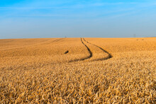 Wheat (Triticum Aestivum) Field Just Before Harvest, Prezletice, Central Bohemia, Czechia