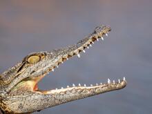 Head Detail Of A Juvenile Nile Crocodile (Crocodylus Niloticus), Basking In The Sun, Lake Kariba