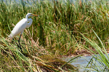 Great Egret (Ardea Alba), Lake Jipe, Tsavo West National Park, Kenya