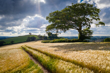 Crop Field And Windswept Tree,...