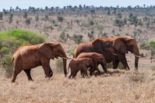 Herd Of Elephants (Loxodonta Africana), Taita Hills Wildlife Sanctuary, Kenya