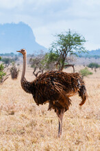 Common Ostrich Female (Struthio Camelus), Taita Hills Wildlife Sanctuary, Kenya