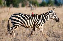Plains Zebra (Equus Quagga), O...