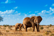 Female Elephant And Two Year O...