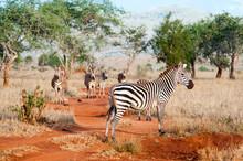 Plains Zebras (Equus Quagga), Taita Hills Wildlife Sanctuary, Kenya