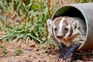 Badger in a Tube