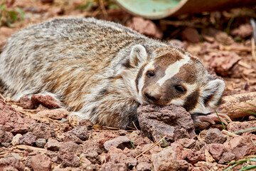 Badger resting his head on a rock