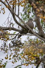 Vertical Closeup Shot Of A Eurasian Collared Dove Perched On The Branch Of A Tree