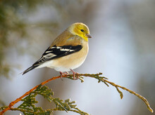 American Goldfinch Perched On A Branch In Winter.
