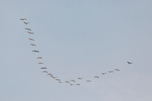 Canadian Geese Flying In Formation