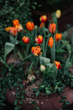 Tulip Flowers In Greenhouse Fl...