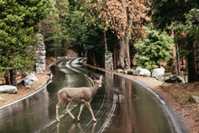 A Deer Crossing The Road