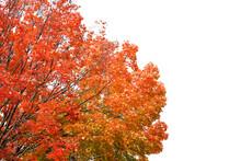 Autumn Tree Isolated On White ...