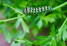 View Of A Striped Monarch Cate...