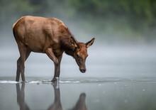 Elk Crossing A Creek