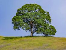 Lone Oak Tree On Hill, Cronan ...