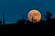 Full Moon (Harvest Moon) Rising In Arizona's Sonoran Desert. Clear, Deep Blue Sky In The Background. Silhouettes In Foreground Of Cactus And Other Plants On The Rising Hillside.