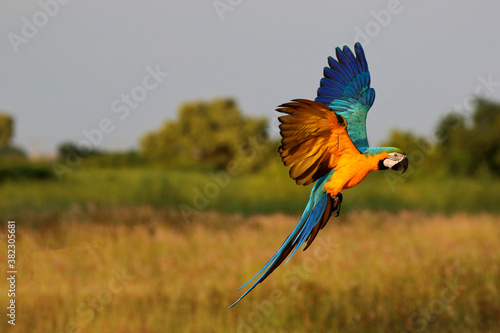 Fotografija Colorful macaw parrot flying in the  park.