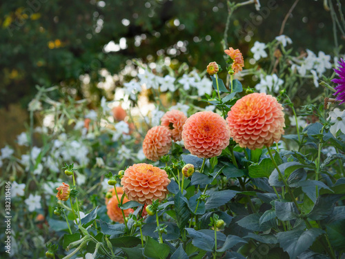 Fotografering Orange dahlias blooming in September garden with white tobacco and big trees on
