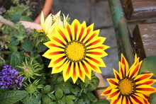 Beautiful Yellow Gazania Flowers With Red Stripes