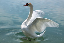 Beautiful White Swan Bird Is O...