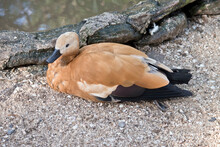 The Egyptian Goose Is Resting ...