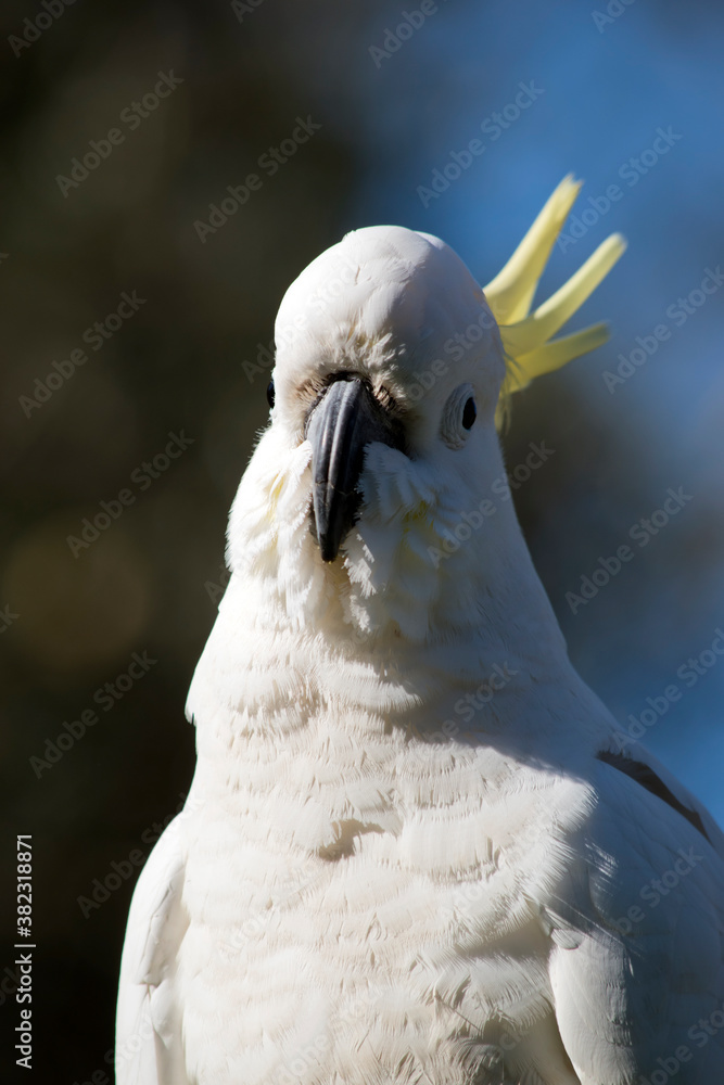 Fototapeta this is a close up of a Sulphur crested cockatoo