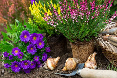 Bulbs of daffodils ready for autumn planting. Canvas Print