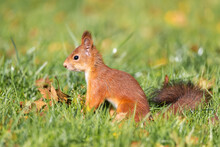 Squirrel In The Autumn Park.