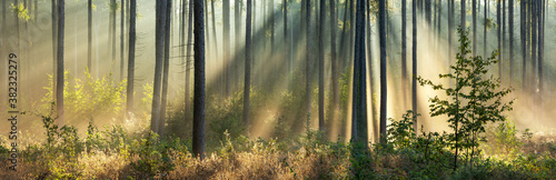 Beautiful Panoramic Sunny Forest in Autumn with Sunbeams through Fog