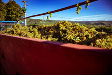 Grape Harvest At Winery