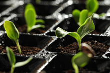 Seedling Tray With Young Veget...