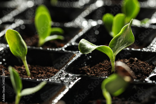 Photo Seedling tray with young vegetable sprouts, closeup