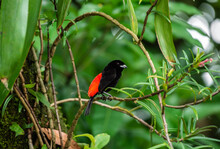 Cherrie's Tanager Ramphocelus Passerinii Costaricensis Scarlet Rumped Tanager Red Black Costa Rica Central America Wild Bird Sitting On Branch