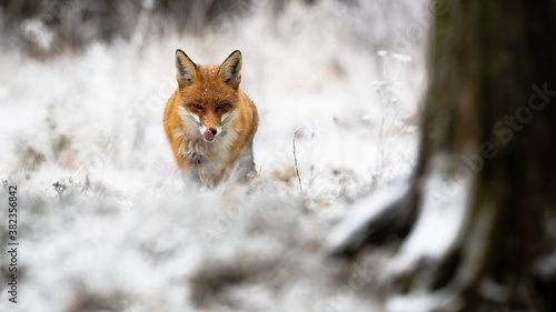 Red fox, vulpes vulpes, approaching in forest in wintertime nature Wallpaper Mural