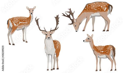 Fototapeta Set of male and female European fallow deer. Deer Dama dama. Wild animals of Europe, America and Scandinavia. Vector illustration obraz