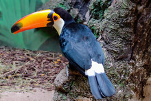 Funny Tropical Toucan Bird Wit...