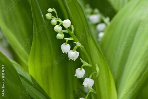 Fototapety, obrazy: スズランの花