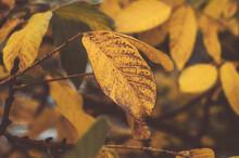 Close Up Of Golden Fall Walnut...