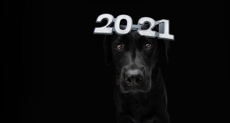 Serious labrador dog celebrating new year 2021 with text glasses. Isolated on black background.