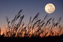 中秋の名月とススキ。...